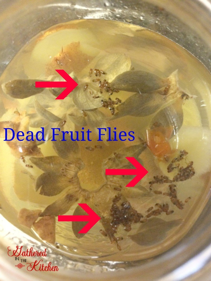 fruit fly killer healthy fruit salad recipe