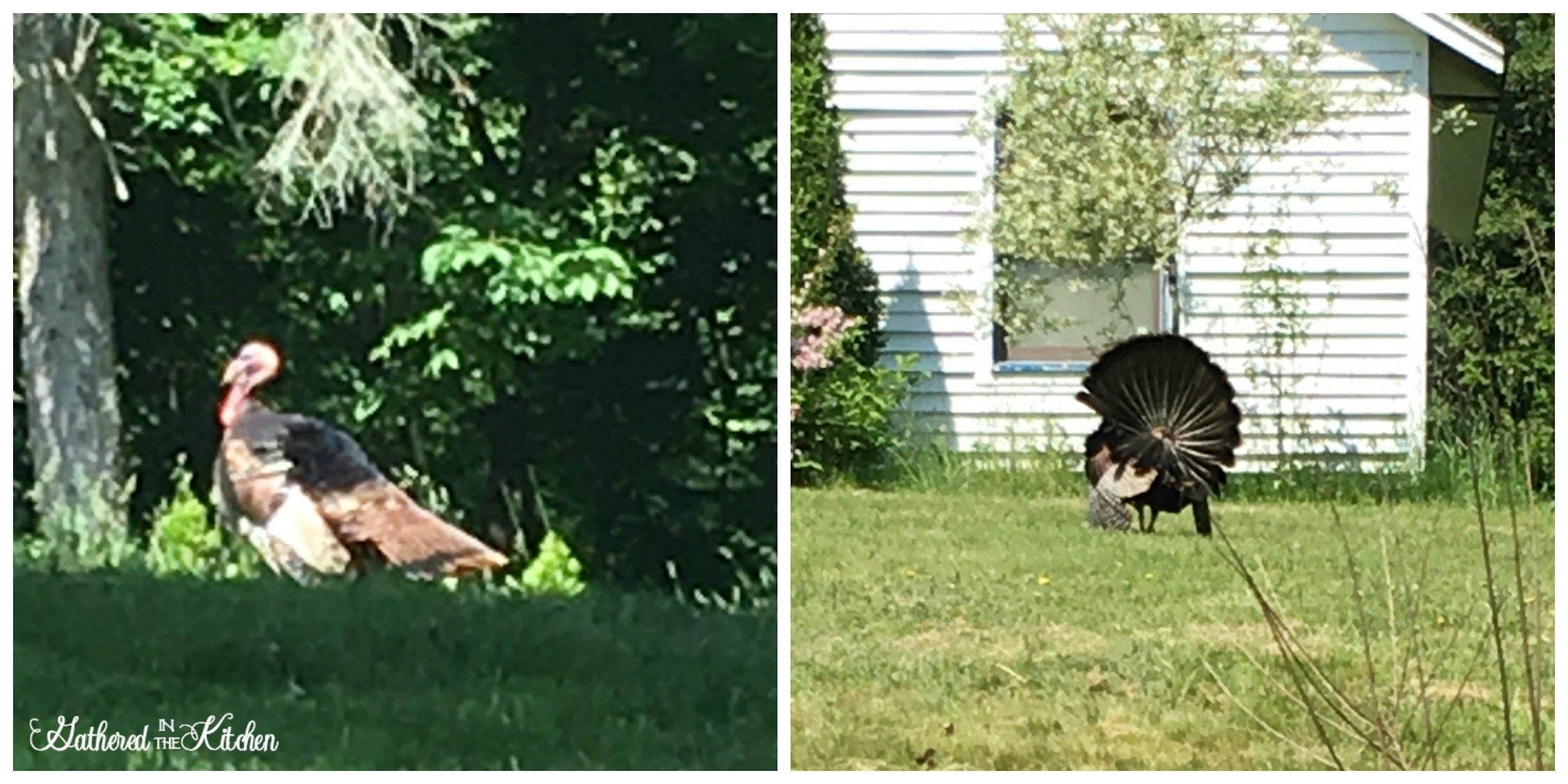 Wild Turkeys in Connecticut