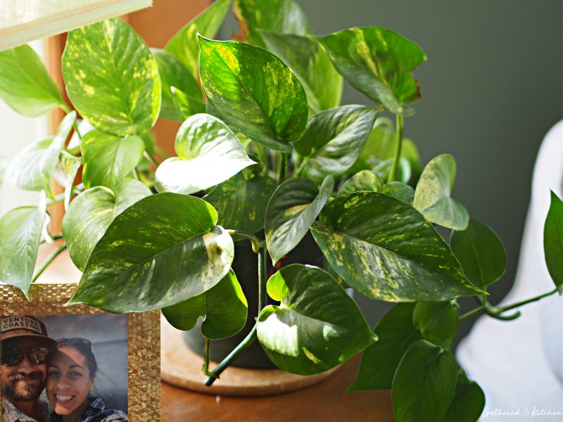 healthy and full indoor pothos plans