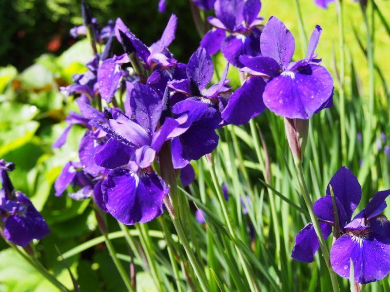 Blooming Irises in yard in spring