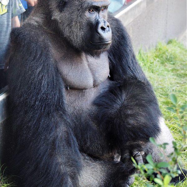 Hubbard Gorilla Valley at Omaha Zoo