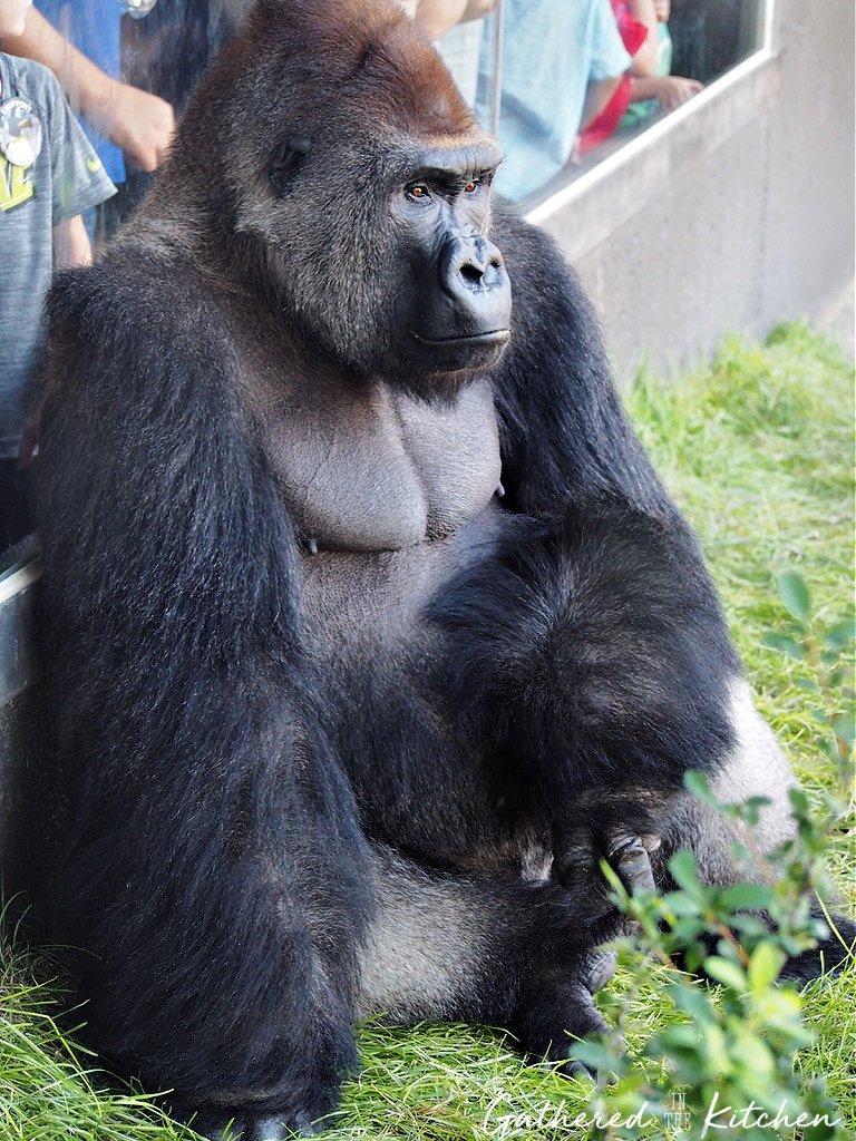 Gorilla at Hubbard Gorilla Valley at Omaha Zoo