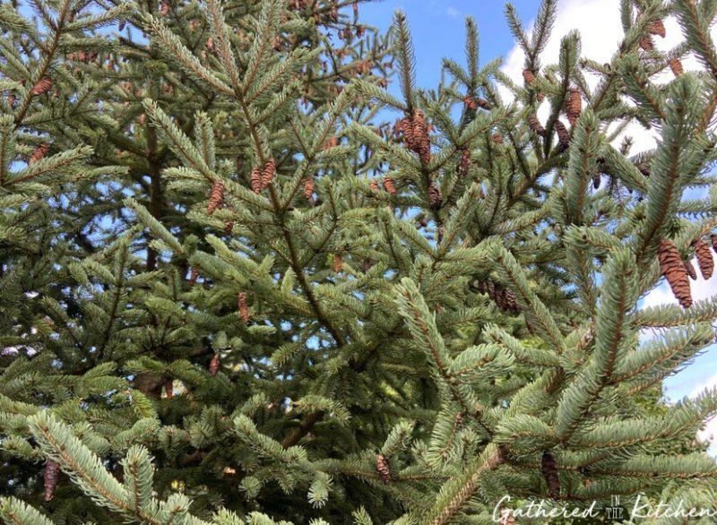 pine tree with pinecones on it